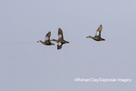 00722-02908 Blue-winged Teal (Spatula discors) in flight Marion Co. IL