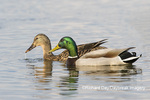00729-02318 Mallard (Anas platyrhynchos) male & female in wetland Marion Co. IL