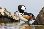 00766-00709 Hooded Merganser (Lophodytes cucullatus) male on log in wetland with turtles Marion Co. IL