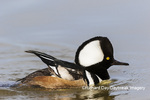 00766-00713 Hooded Merganser (Lophodytes cucullatus) male in wetland Marion Co. IL