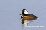 00766-00714 Hooded Merganser (Lophodytes cucullatus) male in wetland Marion Co. IL