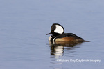 00766-00716 Hooded Merganser (Lophodytes cucullatus) male in wetland Marion Co. IL