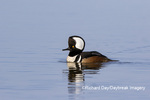 00766-00718 Hooded Merganser (Lophodytes cucullatus) male in wetland Marion Co. IL