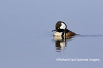 00766-00719 Hooded Merganser (Lophodytes cucullatus) male in wetland Marion Co. IL