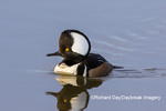 00766-00901 Hooded Merganser (Lophodytes cucullatus) male in wetland Marion Co. IL