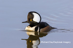 00766-00902 Hooded Merganser (Lophodytes cucullatus) male in wetland Marion Co. IL