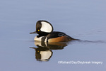 00766-00903 Hooded Merganser (Lophodytes cucullatus) male in wetland Marion Co. IL
