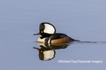 00766-00904 Hooded Merganser (Lophodytes cucullatus) male in wetland Marion Co. IL