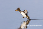 00766-00908 Hooded Merganser (Lophodytes cucullatus) female taking off from wetland Marion Co. IL