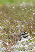 00895-02106 Killdeer (Charadrius vociferus) incubating at nest Marion Co. IL