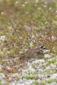 00895-02110 Killdeer (Charadrius vociferus) incubating at nest Marion Co. IL