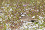 00895-02113 Killdeer (Charadrius vociferus) incubating at nest Marion Co. IL