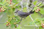 01392-03702 Gray Catbird (Dumetella carolinensis) in Serviceberry (Amelanchier canadensis) Marion Co. IL