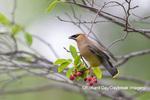 01415-03507 Cedar Waxwing (Bombycilla cedrorum) in Serviceberry (Amelanchier canadensis) Marion Co. IL