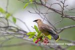 01415-03508 Cedar Waxwing (Bombycilla cedrorum) in Serviceberry (Amelanchier canadensis) Marion Co. IL