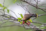 01415-03509 Cedar Waxwing (Bombycilla cedrorum) eating Serviceberry (Amelanchier canadensis) Marion Co. IL