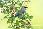 01415-03511 Cedar Waxwing (Bombycilla cedrorum) in Serviceberry (Amelanchier canadensis) Marion Co. IL