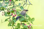 01415-03513 Cedar Waxwing (Bombycilla cedrorum) in Serviceberry (Amelanchier canadensis) Marion Co. IL