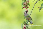 01415-03514 Cedar Waxwing (Bombycilla cedrorum) eating Serviceberry (Amelanchier canadensis) Marion Co. IL