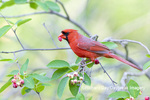 01530-23016 Northern Cardinal (Cardinalis cardinalis) male eating Serviceberry (Amelanchier canadensis) Marion Co. IL