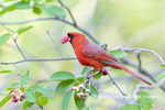 01530-23018 Northern Cardinal (Cardinalis cardinalis) male eating Serviceberry (Amelanchier canadensis) Marion Co. IL
