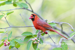 01530-23101 Northern Cardinal (Cardinalis cardinalis) male eating Serviceberry (Amelanchier canadensis) Marion Co. IL