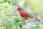 01530-23102 Northern Cardinal (Cardinalis cardinalis) male eating Serviceberry (Amelanchier canadensis) Marion Co. IL