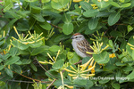 01592-01401 Chipping Sparrow (Spizella passerina) in honeysuckle vine Marion Co. IL