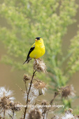 01640-16416 American Goldfinch (Spinus tristis) male eating seeds at thistle plant Marion Co. IL