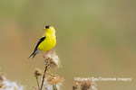 01640-16420 American Goldfinch (Spinus tristis) male eating seeds at thistle plant Marion Co. IL