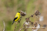 01640-16505 American Goldfinch (Spinus tristis) male eating seeds at thistle plant Marion Co. IL