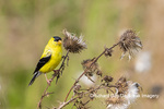 01640-16507 American Goldfinch (Spinus tristis) male eating seeds at thistle plant Marion Co. IL