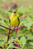 01640-16510 American Goldfinch (Spinus tristis) male on pokeberry Marion Co. IL