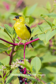01640-16511 American Goldfinch (Spinus tristis) male on pokeberry Marion Co. IL