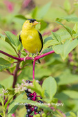 01640-16512 American Goldfinch (Spinus tristis) male on pokeberry Marion Co. IL