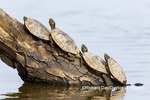 02536-00401 Red-eared Sliders (Trachemys scripta elegans) on log in wetland Marion Co. IL