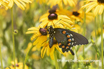 03004-01601 Pipevine Swallowtail (Battus philenor) on Black-eyed Susans (Rudbeckia hirta) Marion Co. IL