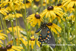 03004-01604 Pipevine Swallowtail (Battus philenor) on Black-eyed Susans (Rudbeckia hirta) Marion Co. IL
