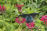 03004-01612 Pipevine Swallowtail (Battus philenor) on Red Bee Balm (Monarda didyma) Marion Co. IL