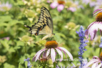 03017-01507 Giant Swallowtail (Papilio cresphontes) on Purple Coneflower (Echinacea purpurea) Marion Co. IL