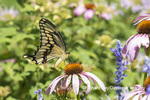 03017-01509 Giant Swallowtail (Papilio cresphontes) on Purple Coneflower (Echinacea purpurea) Marion Co. IL