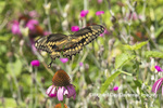 03017-01516 Giant Swallowtail (Papilio cresphontes) in flight at Purple Coneflower (Echinacea purpurea) Marion Co. IL