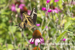 03017-01517 Giant Swallowtail (Papilio cresphontes) on Purple Coneflower (Echinacea purpurea) Marion Co. IL