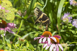 03017-01601 Giant Swallowtail (Papilio cresphontes) in flight at Purple Coneflower (Echinacea purpurea) Marion Co. IL