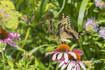 03017-01602 Giant Swallowtail (Papilio cresphontes) on Purple Coneflower (Echinacea purpurea) Marion Co. IL