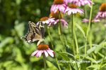 03017-01603 Giant Swallowtail (Papilio cresphontes) on Purple Coneflower (Echinacea purpurea) Marion Co. IL