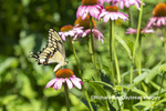 03017-01604 Giant Swallowtail (Papilio cresphontes) on Purple Coneflower (Echinacea purpurea) Marion Co. IL