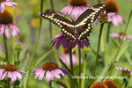 03017-01607 Giant Swallowtail (Papilio cresphontes) on Purple Coneflower (Echinacea purpurea) Marion Co. IL