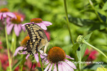 03017-01609 Giant Swallowtail (Papilio cresphontes) on Purple Coneflower (Echinacea purpurea) Marion Co. IL