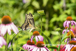 03017-01610 Giant Swallowtail (Papilio cresphontes) on Purple Coneflower (Echinacea purpurea) Marion Co. IL